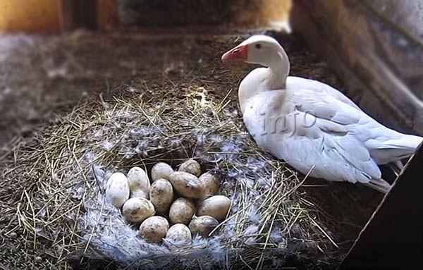 Под гусыню можно положить до 12 яиц
