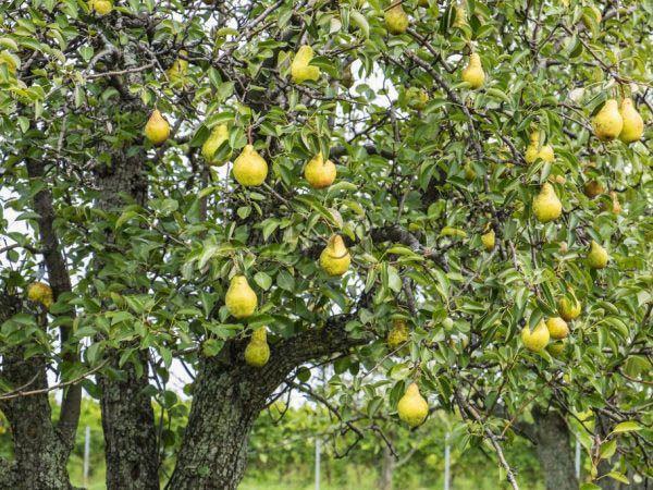 Урожай груши Дюшес