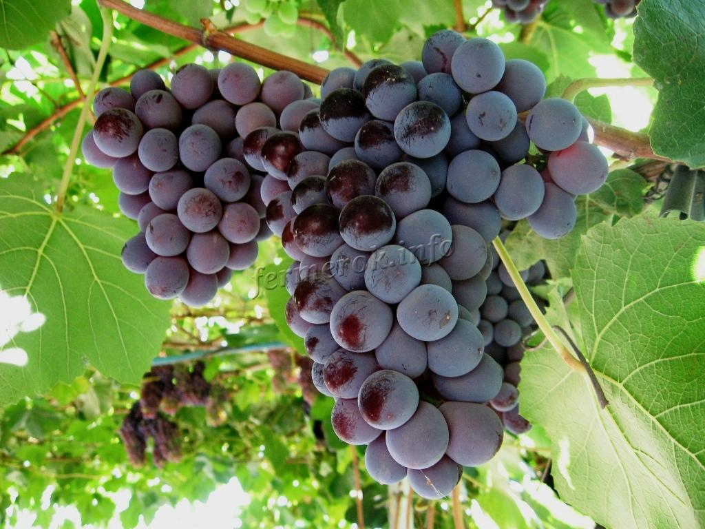 Уход за виноградом сорта Кардинал