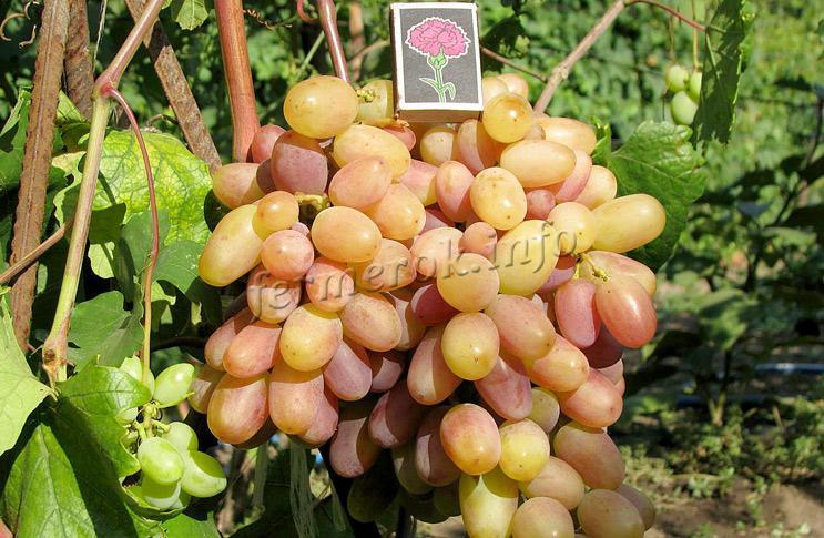 Выращивание сорта винограда Виктор