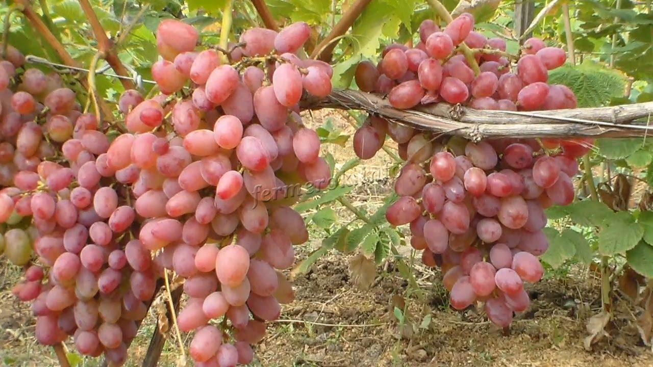 Описание сорта винограда Виктор