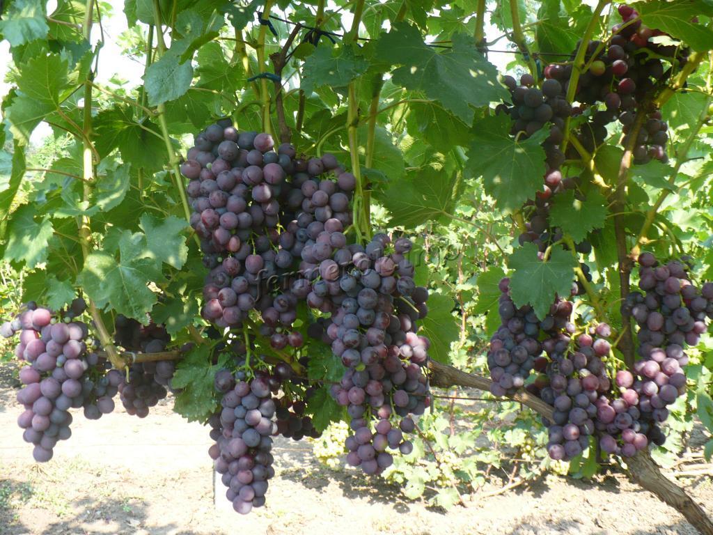 Выращивание винограда Кардинал
