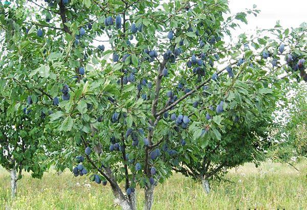 Деревья растут в среднем до 3 метров. Крона по форме округлая, немного вытянутая, не густая