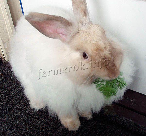 Если ангорского кролика вовремя не покормить, он может начать грызть провода