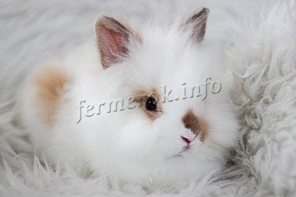 Фото ангорского крольчонка Английской породы