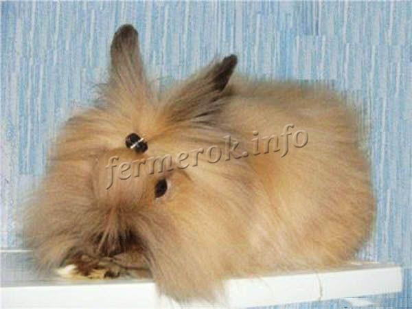 Фото ангорского кролика карликовой породы