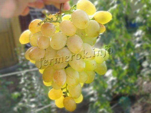 Фото винограда Восторг Белый