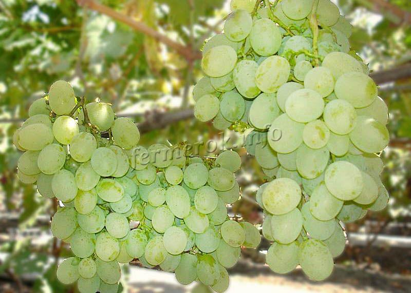 Фото винограда Восторг Идеальный