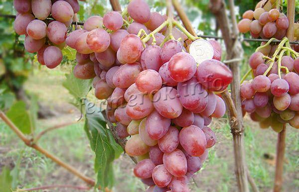 Фото винограда Восторг Красный