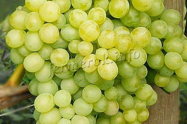 Фото винограда Восторг Мускатный