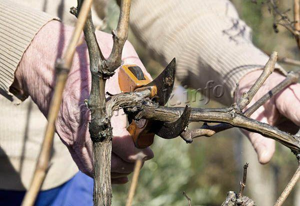 Обрезка винограда Восторг делается осенью