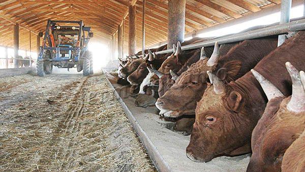 Выращивание быков как бизнес – это выгодно