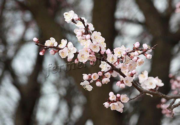 Бутоны бледно-розовые или белые