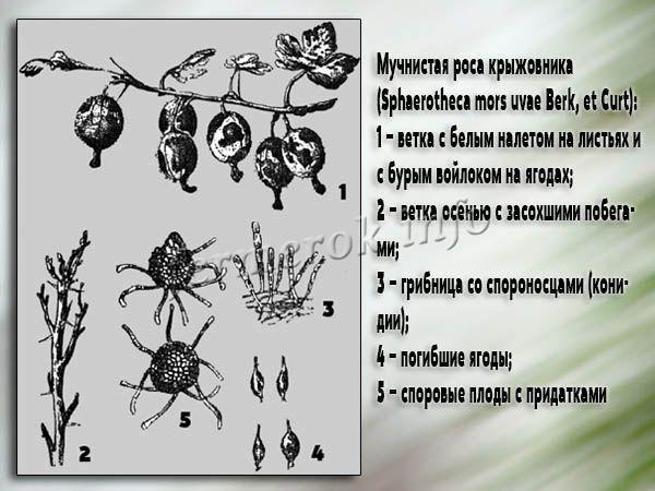Мучнистая роса – это грибковое заболевание