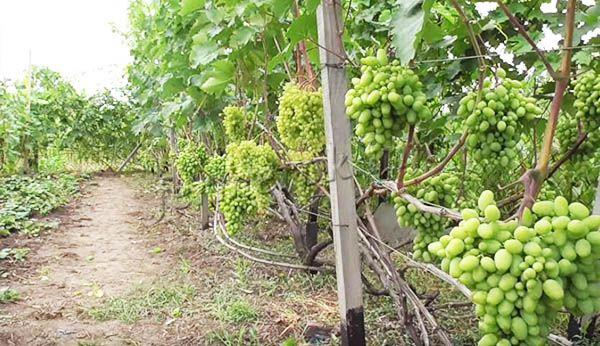 На каждом побеге может созревать до 3 гроздей среднего размера