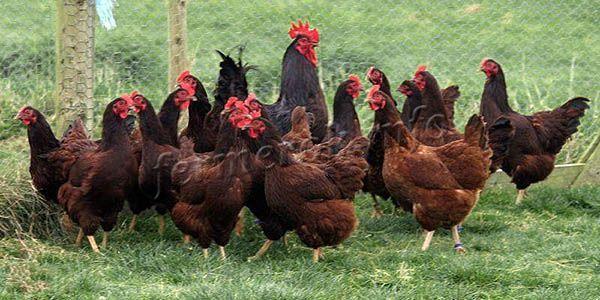 На одного петуха должно приходиться 10-12 курочек