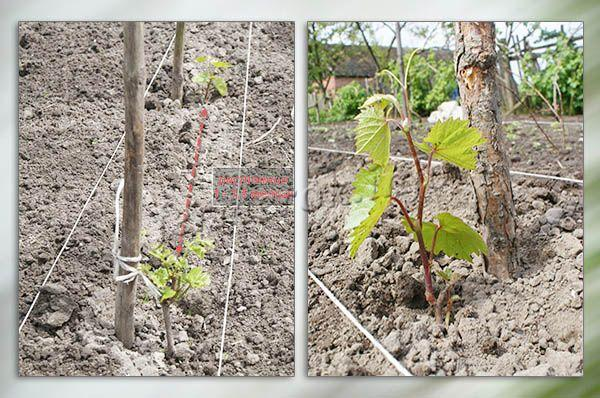 Посадка винограда Тимур