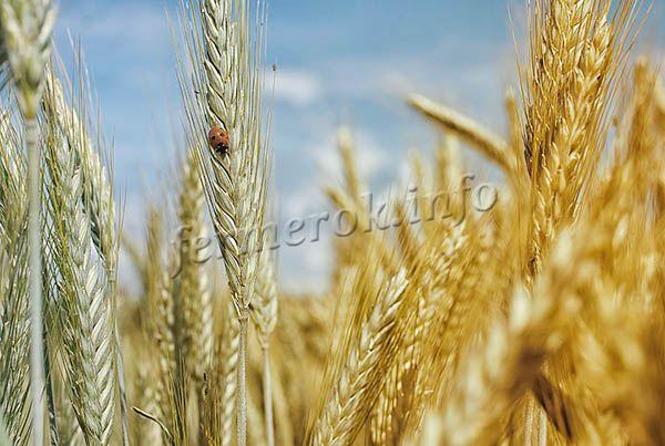 Пшеница твердых сортов делится на две большие группы – яровые и озимые