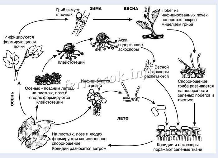 Схема годового цикла распространения мучнистой росы