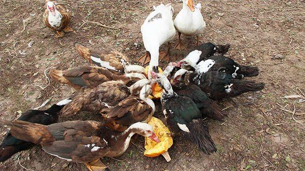В еде Мускусная утка непривередлива
