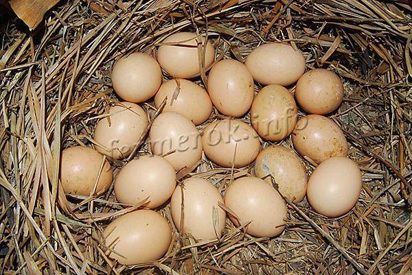 Яйценоскость несушек – 160-170 шт в год