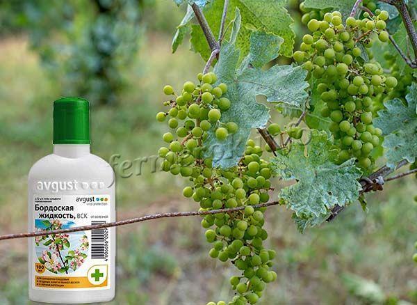Если после весенней обработки винограда все же появились признаки болезни, обрабатывать можно только 1% раствором