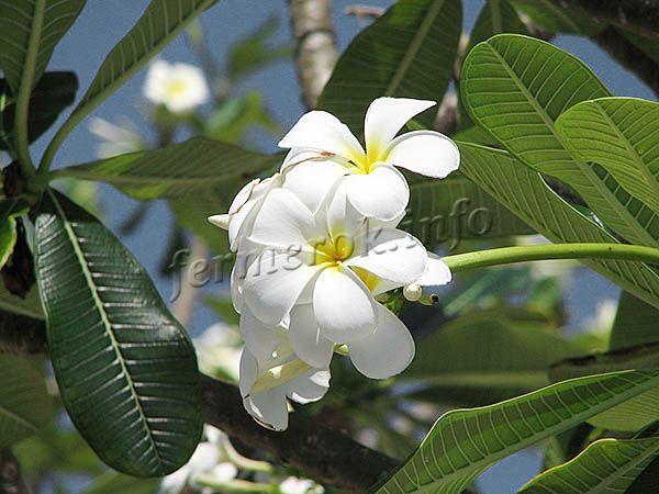 Фото Плюмерии обтуса (Plumeria obtusa)