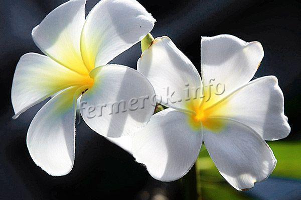 Фото белой Плюмерии