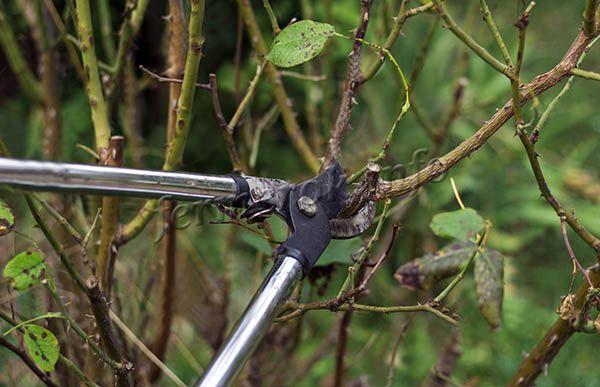 Из-за загущенной кроны дереву необходима своевременная обрезка