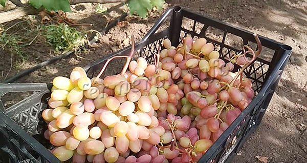 Как только виноград созрел, желательно его сразу же снимать