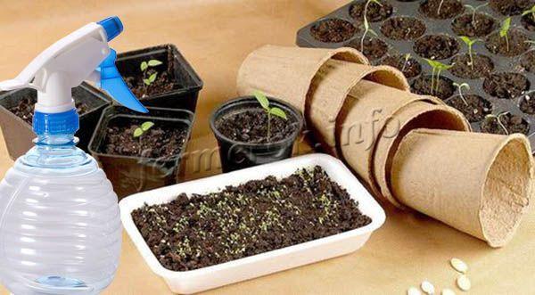 Когда семена прорастут, пленочное укрытие убирают, и поливы сокращают до 2-3 дней