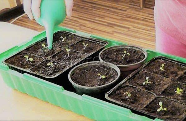 Очень важно полить саженцы петуньи сразу после появления ростков