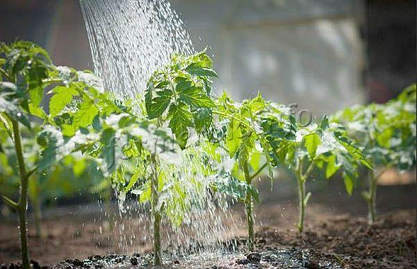 Перед тем как пересадить взрослые саженцы на постоянное место поливы сокращают