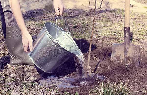 После посадки земля уплотняется, деревце поливается