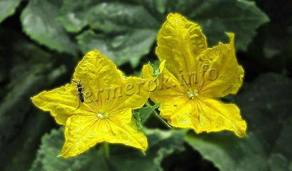 Самоопыляющиеся сорта обладают обоеполыми цветками