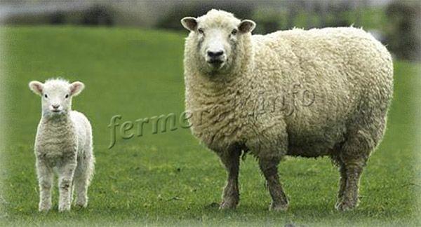 Фото Горьковской породы овец