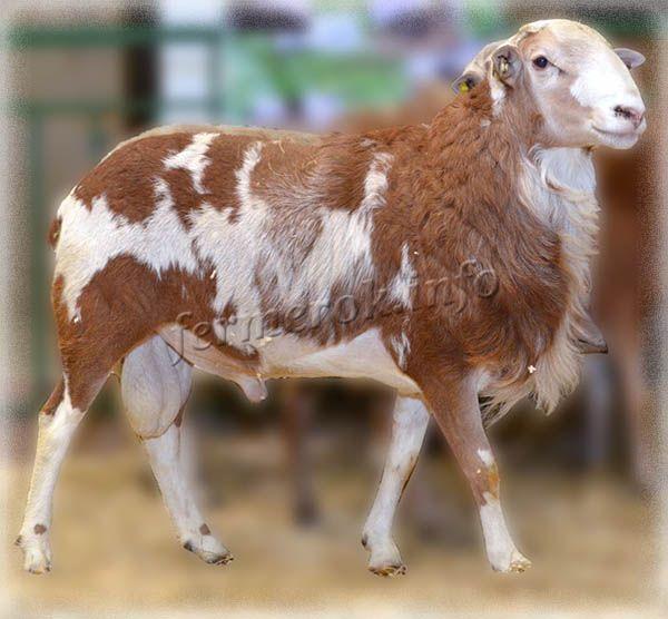 Фото Катумской породы овец