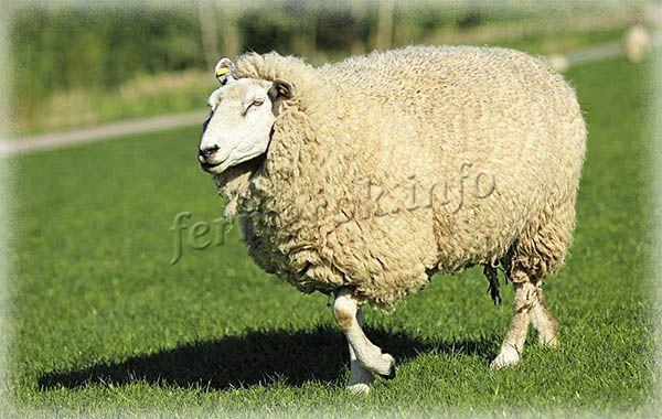 Фото Куйбышевской породы овец