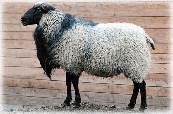 Фото Романовской породы овец
