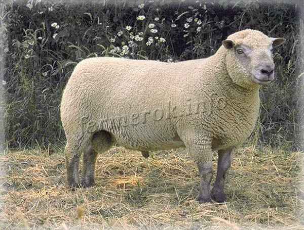 Фото Вандейской породы овец
