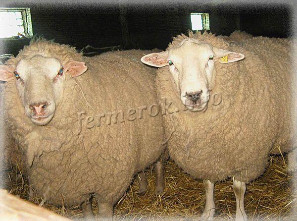 Фото Южной породы овец