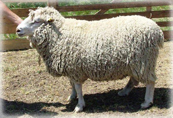 Фото породы овец Прекос