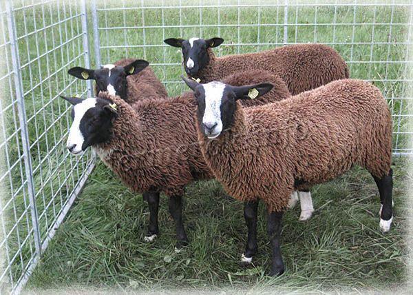 Фото породы овец Цвартблес
