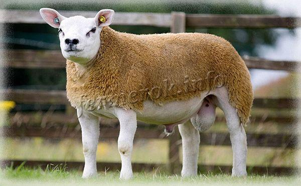 Фото породы овец Тексель