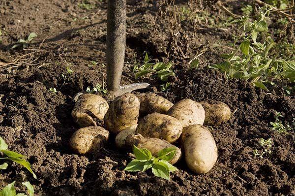 Сначала картофель выкапывают из земли и раскладывают на просушку