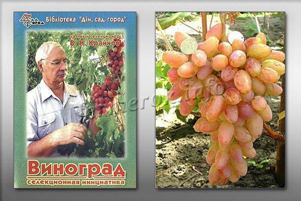 Виноград Юбилей Новочеркасска был создан селекционером В. Н. Крайновым