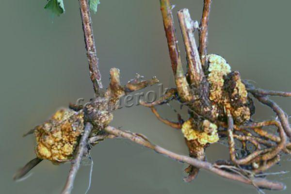 Фото Корневого рака у малины