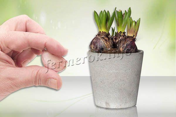 Зубок чеснока очищают от шелухи, срезают донце и прикапывают в горшке