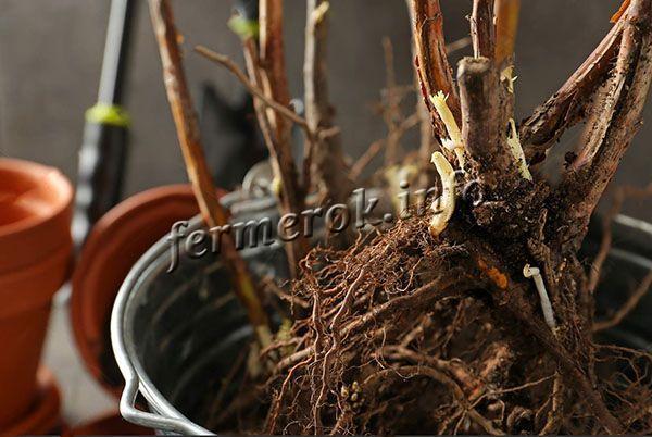 Для размножения винограда Байконур используют черенки и саженцы с хорошо развитой корневой системой