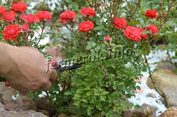 Как правильно обрезать парковую и домашнюю розу